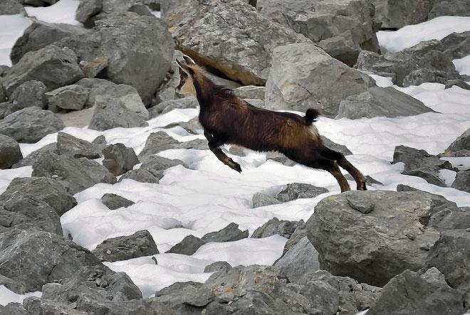 _JPM4822_Chamois-Rupicapra rupicapra-Roe deer