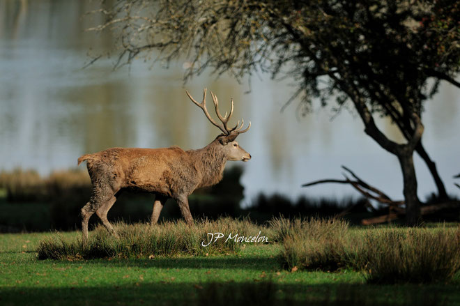 DSC_0748_Cerf-Cervus elaphus-red deer
