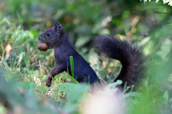 JPM4079_Ecureuil roux-Sciurus vulgaris-squirrel