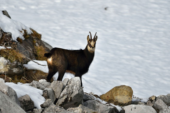 _JPM4581_Chamois-Rupicapra rupicapra-Roe deer