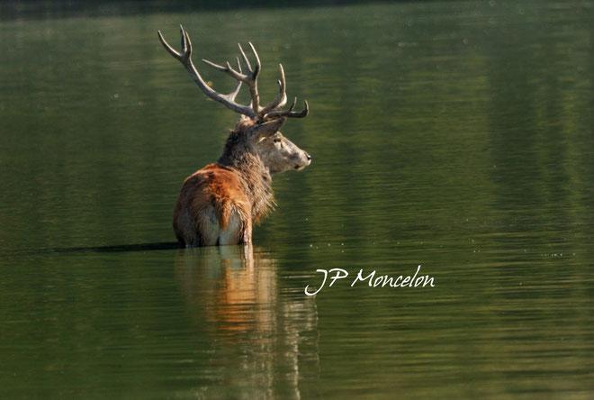 DSC_0848_Cerf-Cervus elaphus-red deer