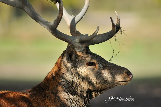 DSC_0987-Cerf-Cervus elaphus-red deer