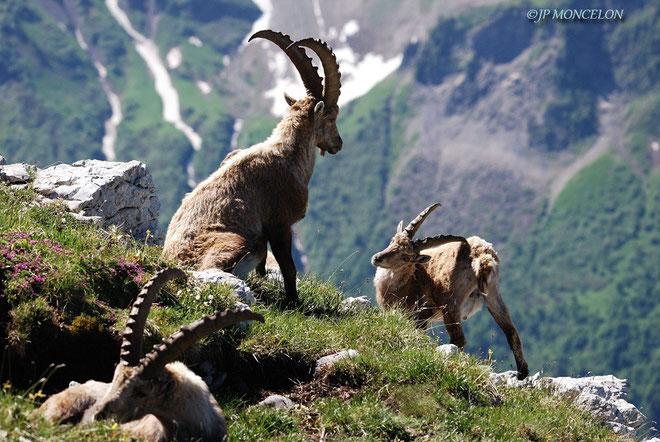 DSC_31056-Bouquetins-Capra ibex