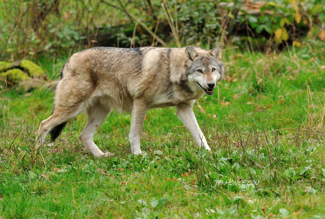 DSC_0927-Loup gris-Canis lupus-Timber wolf