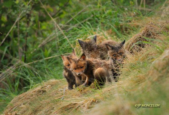 _DSC1202-Renard roux-Vulpes vulpes