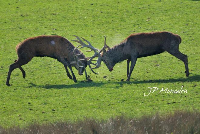 DSC_0840_Cerf-Cervus elaphus-red deer