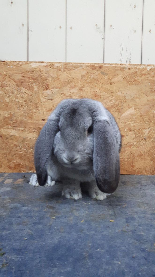 Das Bild zeigt ein Elterntier der zur Abgabe stehenden Nachzuchten