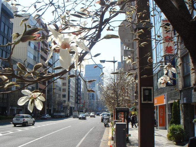 3月・江戸通りの辛夷と小伝馬町のビル街
