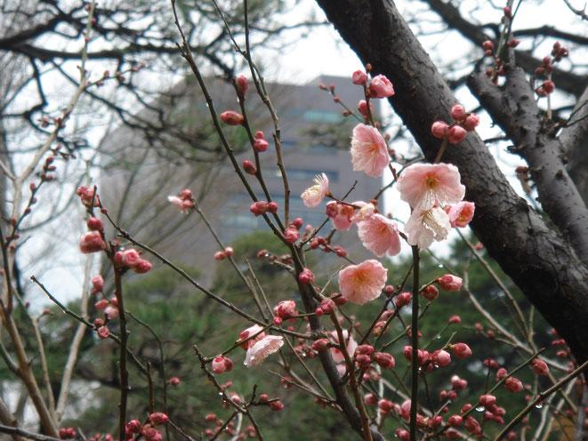 2月・小石川後楽園の梅とトヨタ東京本社
