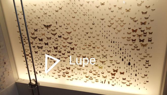 Alle diese Schmetterlinge gibt/gab es im Thurgau. Zu sehen sind sie im Naturmuseum Frauenfeld.