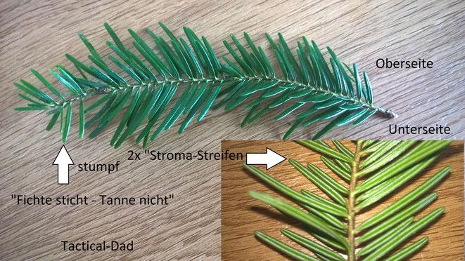 Die Tanne ist vor allem an ihren stumpfen Nadeln zu erkennen und daran, dass bei alten Bäumen die Baumspitze flach ist.