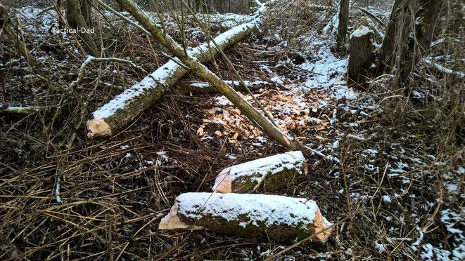 Ein sehr beeindruckendes Beispiel dafür wie klein der Biber Bäume zerlegen kann.  (Wenn ich jemand verwirren will erzähle ich immer, dass ich hier ein Experiment mit meinen Bibern und Amphetamin durchgeführt habe)