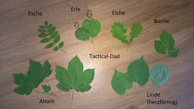 Esche, Erle, Eiche, Buche, Ahorn und Linde sind einfach an ihren Blättern zu erkennen. Das Lindenblatt ist das Logo der Naturschutzwacht.