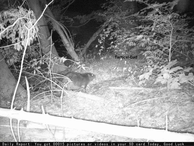 """Nach einigen Tage """"Jagd"""" mit den Wildkameras auf den Biber hab ich einige Fotos von ihm."""