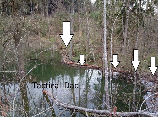 Diesen Biberdamm konnte ich finden. Rechts seht ihr die Baumstämme und links den aufgestauten Weiher der sich aus einem kleinen Bach gebildet hat. .