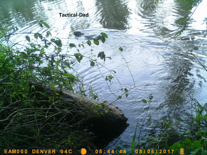 Hier seht ihr auch einen Biber beim Schwimmen. Diese Kameraeinstellung brauchte mir sehr viele Aufnahmen, vom Marder bis zum Eichelhäher.
