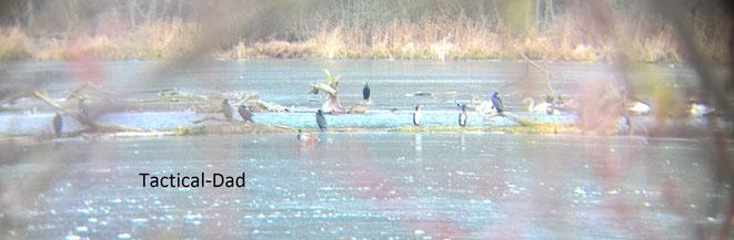 Der See ist fast vollständig zugefrohren. Alle Wasservögel versammeln sich auf engstem Raum. Die Kormorane mit der weißen Brust sind Jungvögel.