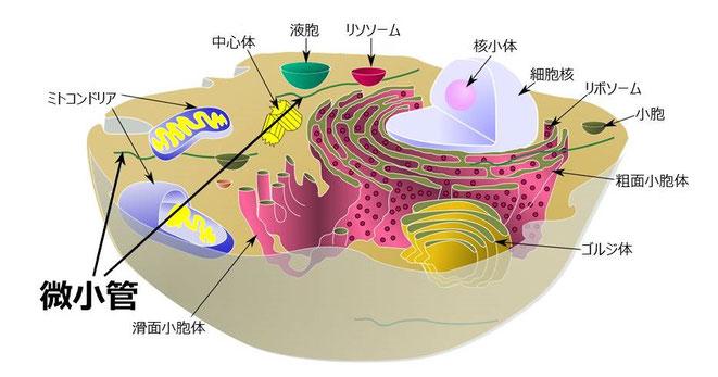 微小管-Wikipedia より(一部加筆)