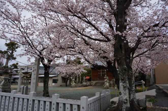 大脇町白山神社の桜