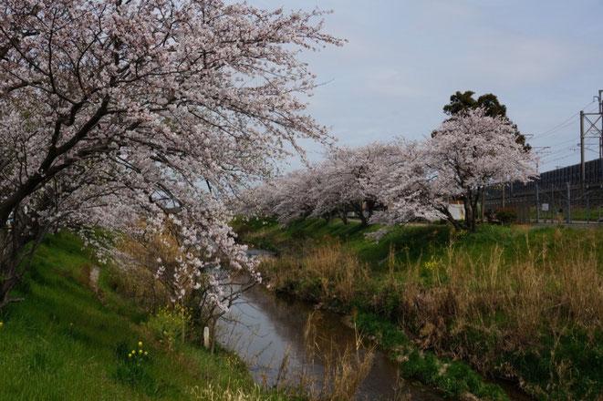 平成27年11月に手入れした桜並木