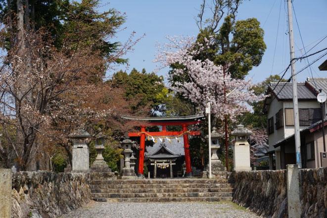 二川八幡神社の参道の桜が満開です