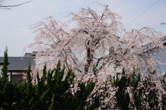 二川八幡神社横の枝垂れ桜7分咲きです