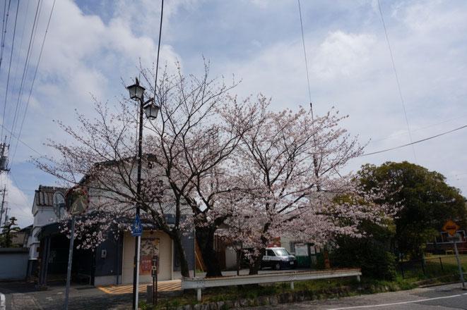 二川消防団詰所横の桜は今年が最後かも