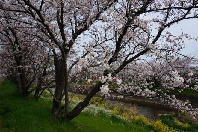 平成26年11月に手入れした桜並木