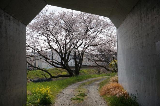 平成27年11月に手入れした桜(コウヨウ館から道賢田橋へのガード下)