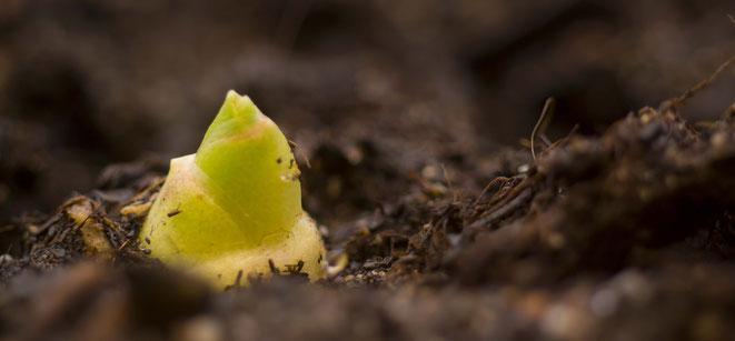 Ingwer selber anbauen anpflanzen züchten vermehren zuhause Ingwer