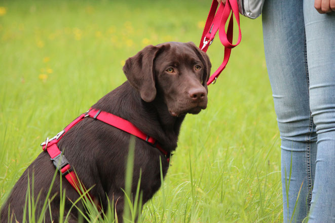 Dunkelbrauner Labrador beim Clickertraining in Altona