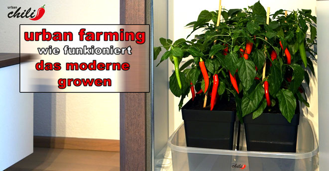 urban farming mit der urban Chili Growbox