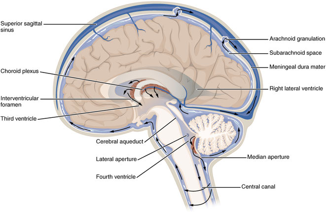lateral view of venous and dural sinuses