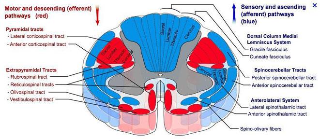 motor and descending (efferent) pathways, sensory and ascending (afferent) pathways