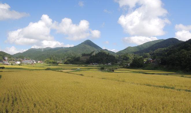収穫直前の稲穂。後ろに鳥取との県境、剣山(けんざん)をひかえて。