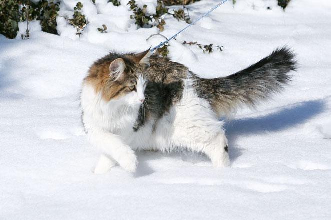 Absolut, gato tabby negro bosque de noruega