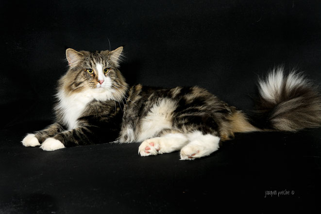 Gato Bosque de noruega Fabler de Tsavo