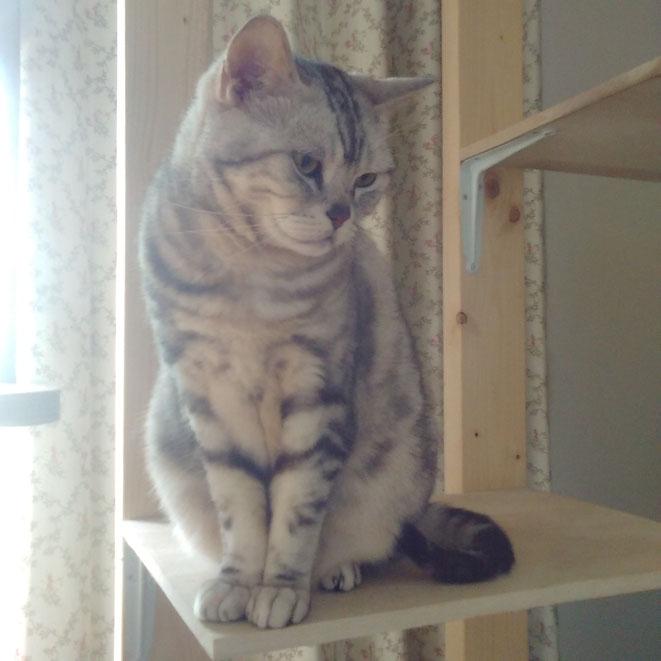 猫 ネコ ねこちゃん ぎょんくん アメリカンショートヘア アメショー 東京都 大田区多摩川 矢口渡 キャットシッター ペットシッター