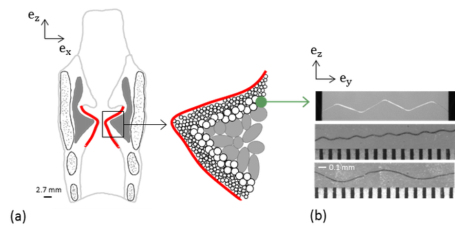 (a) Scheme of a coronal view of the human larynx and zoom on the vocal-fold fibrous architecture.  (b) Photographs of wavy polyamid monofilaments (diameter 50 µm) processed to mimic collagen fibres' tortuosity at rest (from Argoud, 2015).