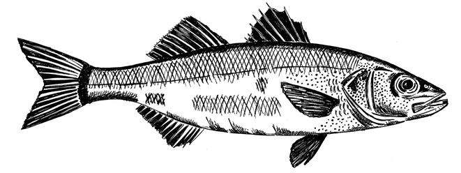 muurtekening vis, baars