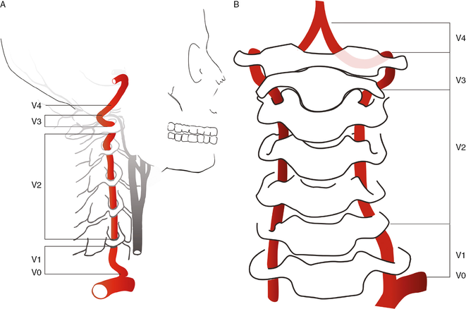 course of the vertebral arteries