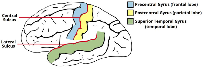 precentral and postcentral gyrus