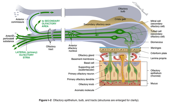 olfactory epithelium, bulb, and tracts