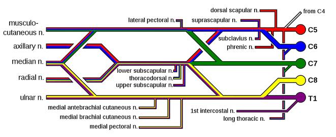 spinal roots colour scheme brachial plexus