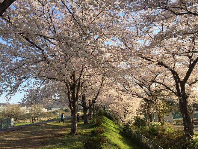 "Cherry Blossom ""Sakura"" near Kyodo no mori Park Tokyo Fuchu nature Sakura party tourist spot 郷土の森公園近くの桜 東京都府中市 お花見観光スポット 多摩観光振興会"
