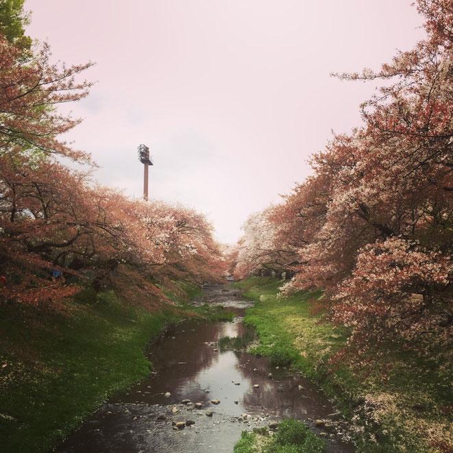 Cherry Blossom at Negawa River Tokyo Tachikawa nature beautiful sakura spot spring season healing walking strolling tourist spot TAMA Tourism Promotion - Visit Tama 根川緑道の桜 東京都立川市 自然 癒し お花見 散策 観光スポット 多摩観光振興会