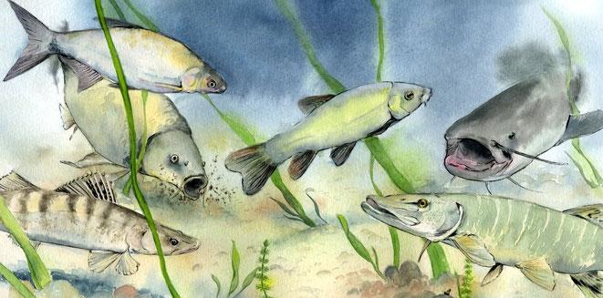 poissons, brochet, silure, sandre, tanche, illustration, étang, panneau pédagogique