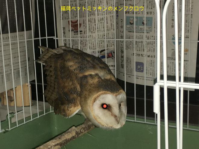 福岡県手乗りインコ小鳥販売店ペットミッキンにメンフクロウのヒナが仲間入りしました。