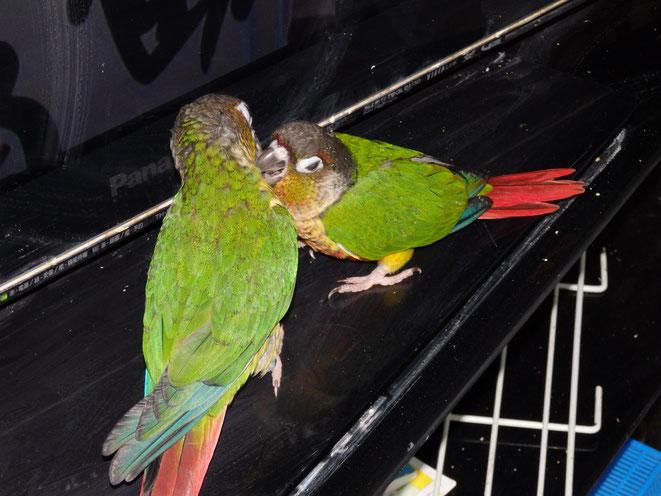 福岡県手乗りインコ小鳥販売店ペットミッキン 手乗りウロコインコのヒナが仲間入りしました。