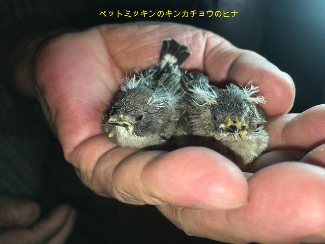 福岡県手乗りインコ小鳥販売店ペットミッキンに手乗りキンカチョウが仲間入りしました。
